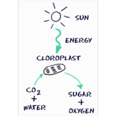 Biology4Kids.com: Cell Structure: Chloroplasts icon