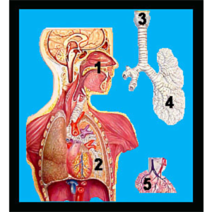 Anatomy of the Respiratory System icon