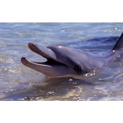 Bottlenose Dolphin facts icon