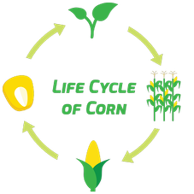 Life Cycle of Corn icon