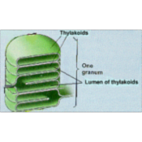 Photosynthesis (noncyclic and cyclic photophosphorylation)