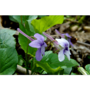 The American Violet Society icon