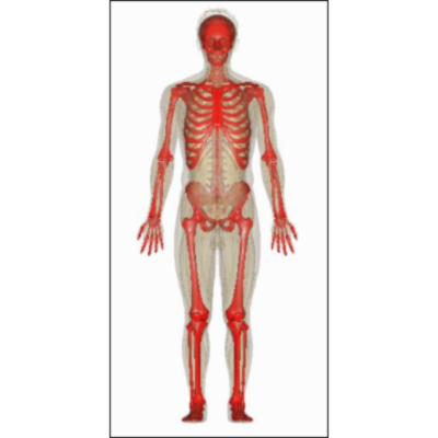 Skeletal System: Anatomy and Function, Diagram, Diseases, and More icon