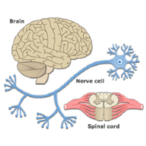 Activity Sheet for Nervous System icon