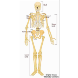 Introduction to Skeletal System icon