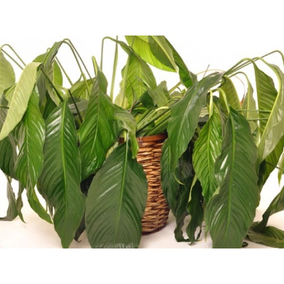 Advice - How to Help Wilting Indoor Plants Recover icon