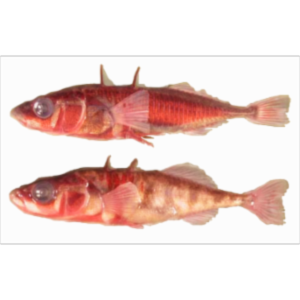 Stickleback Evolution icon